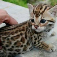 No es un jaguar tampoco un leopardo... ¿Entonces que es? ¡ES UN GATO!