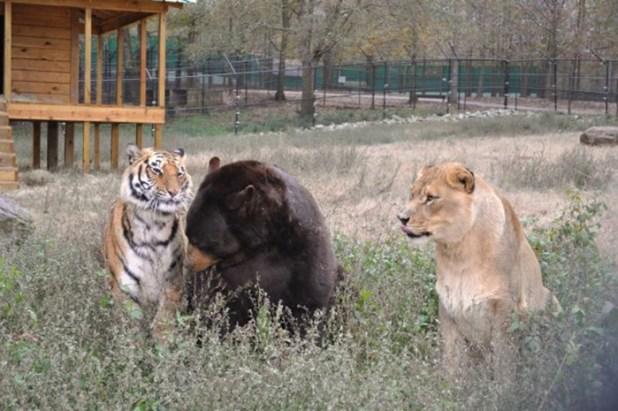 amistad-animal-inusual-oso-leon-tigre-santuario-georgia-7
