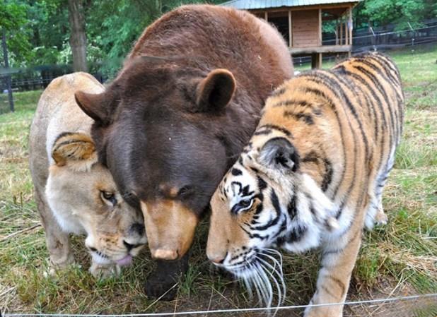 amistad-animal-inusual-oso-leon-tigre-santuario-georgia-9