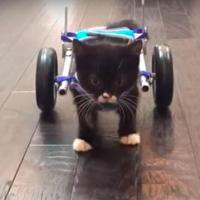 Inventan un aparato para un gatito sin patas