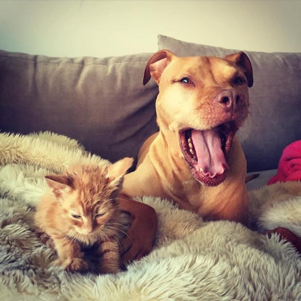 amistad-perro-pitbull-bubba-gata-rue-adoptados-10