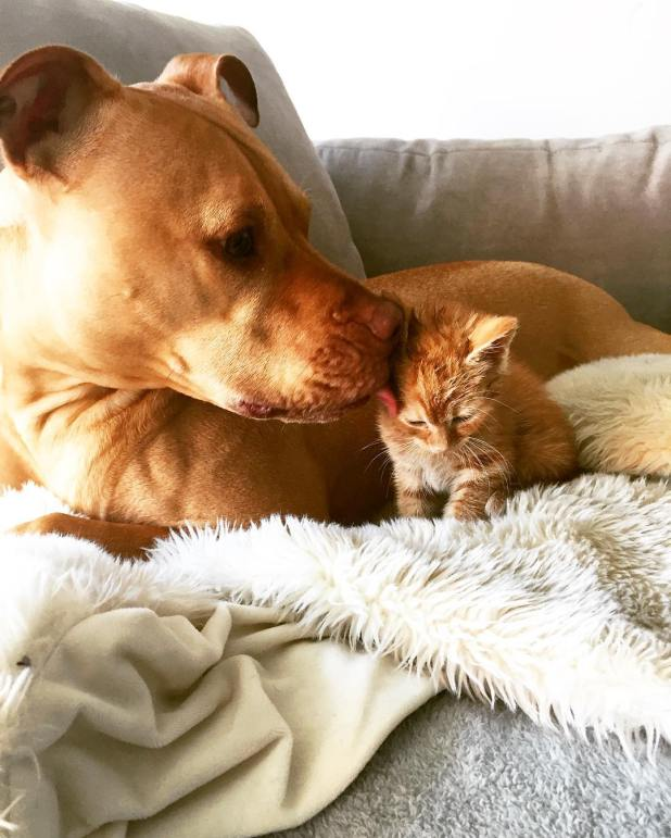 amistad-perro-pitbull-bubba-gata-rue-adoptados-7