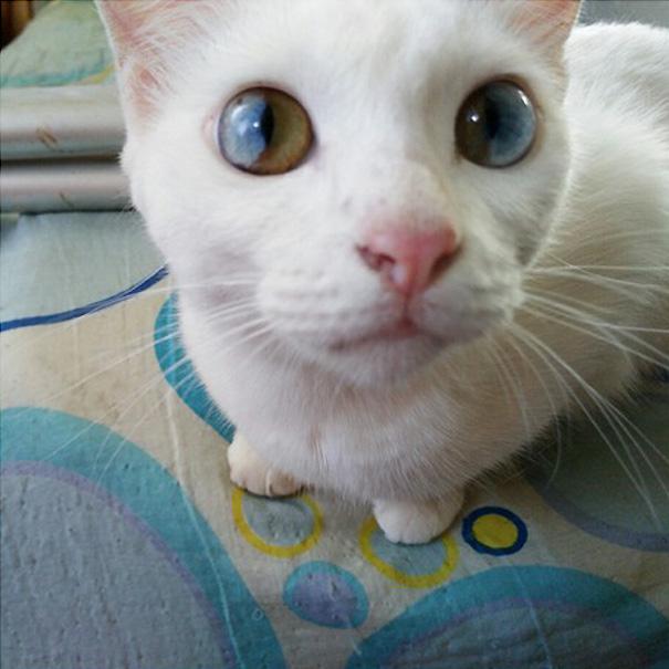 gato-ojos-multicolor-heterocromia-sectorial-2