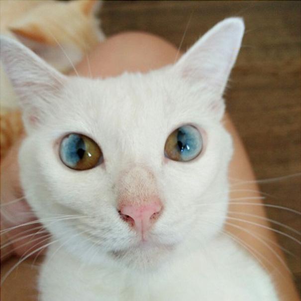 gato-ojos-multicolor-heterocromia-sectorial-4