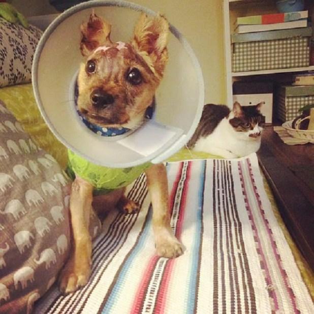 tuffy-el-cachorro-que-sobrevivio-al-odio-de-su-dueno-que-lo-hirvio-vivo-y-lo-lanzo-por-la-ventana-desde-un-cuarto-piso-07