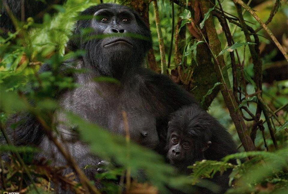 Uganda: Parque Nacional de la Selva Impenetrable de Bwindi