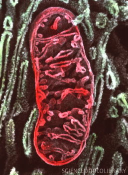 Coloured SEM of mitochondrion