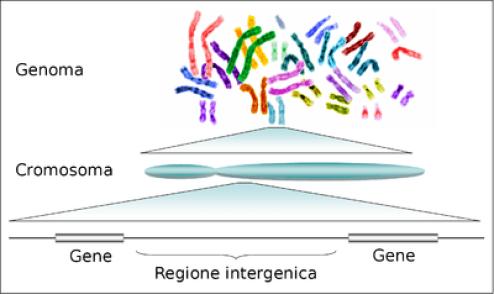 Dal gene al genoma: i successivi livelli di organizzazione dell'informazione genetica nel DNA di un organismo.
