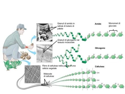 Rappresentazione grafica della provenienza ed organizzazione molecolare delle tre biomolecole di riserva: amido, glicogeno e cellulosa.
