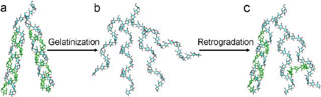 Schematizzazione grafica della struttura molecolare dell'amido: dalla gelatinizzazione a caldo alla retrogradazione quando torna a temperatura inferiore.