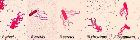 colorazione di leifson determina la tipologia dei flagelli nei batteri