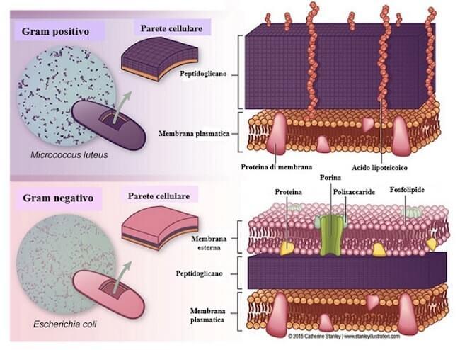Differenza tra gram positivi e gran negativi: struttura della parete batterica.