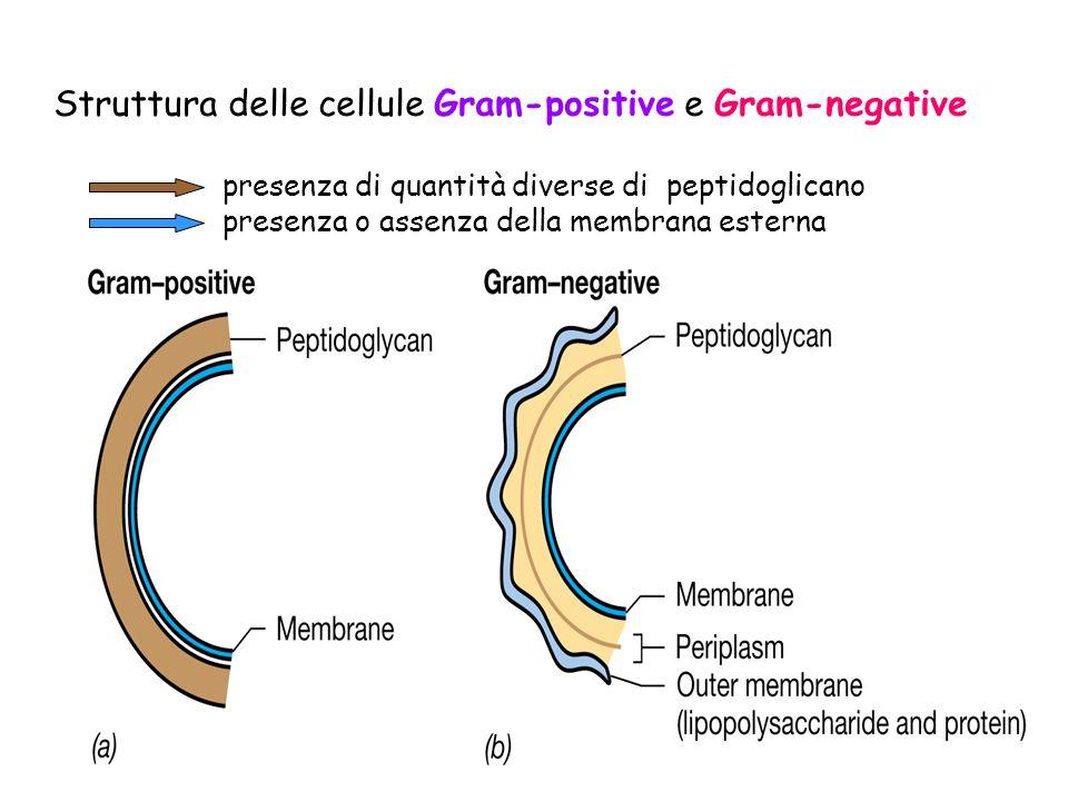 Differenze tra gram positivi e gran negativi: parete e membrana esterna.