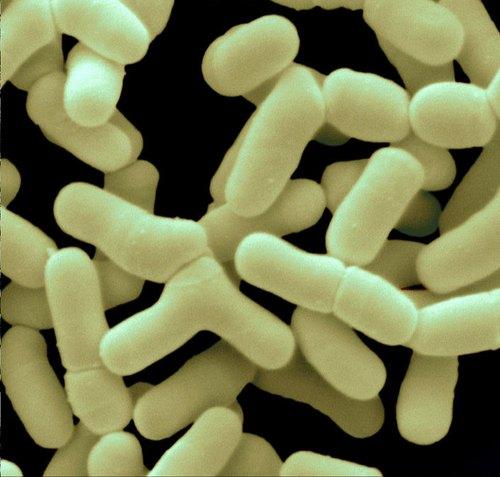 Bifidobacterium gravidanza