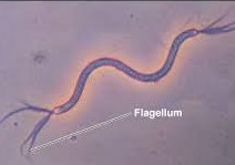 flagellibattericicolorazionemicroscopia