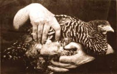 gallina Plymouth Rock con tumore
