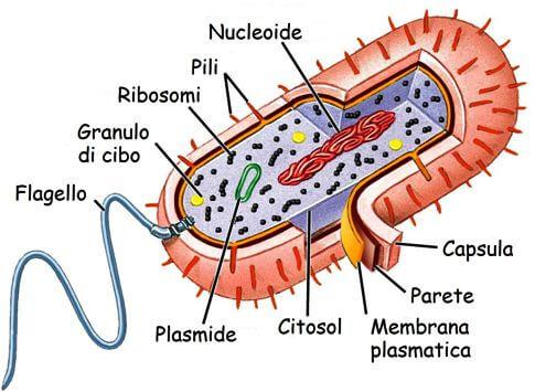 Illustrazione dell'interno di una cellula procariotica che evidenzia in verde il plasmide