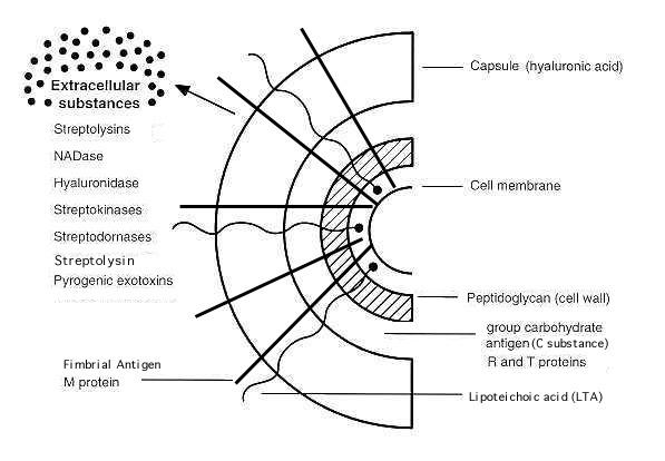 Struttura della superficie cellulare di Streptococcus pyogenes e prodotti secreti coinvolti nella virulenza