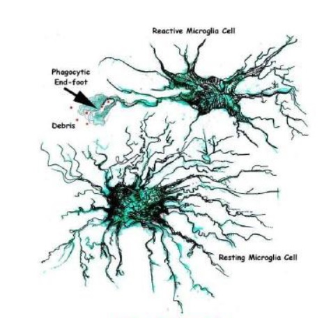 cellule della microglia