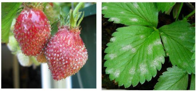 Figura 3: Sintomi da Oidio della fragola; a sinistra, gli acheni sporgono in maniera evidente; a destra, stadi iniziali con macchie biancastre polverose su foglie.