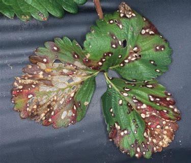Figura 5: Sintomi da vaiolatura su foglie di fragola; evidenti macchie circolari ormai in stadio avanzato, con iniziale disseccamento della foglia.