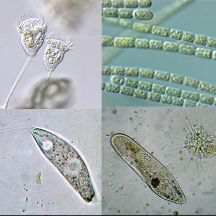 Osservazione in vivo di organismi presenti in una goccia d'acqua di pozza