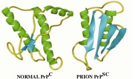 Struttura tridimensionale di entrambe le proteine. In verde sono rappresentate le strutture in α-elica ed in azzurro i foglietti β.