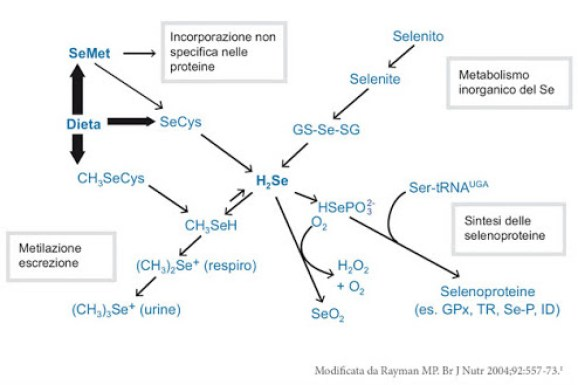 Metaboliosmo del Selenio