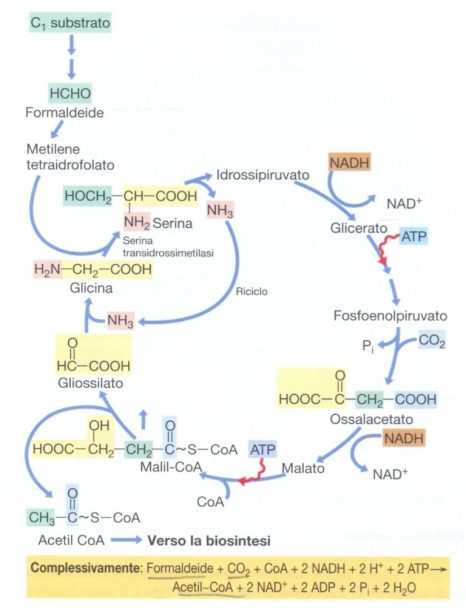 Via della serina nel metabolismo della formaldeide