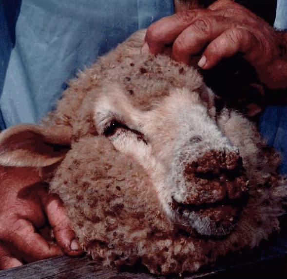 Lesioni crostose e sanguinanti sulle labbra e sul muso di una pecora