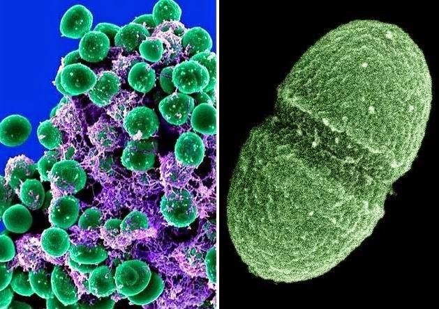 Akkermansia muciniphila, un batterio del microbiota in grado di degradare la mucina.
