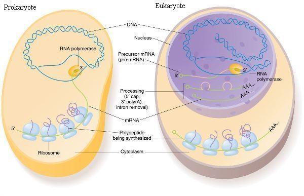 translation vs transcription venn diagram hobart welder wiring differences between prokaryotic and eukaryotic cells