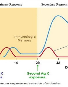 also differences between primary and secondary immune response rh microbiologynotes