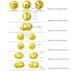 Mitosis And Meiosis Stages Diagram Class System Cell Division Binary Fission Cancer In From Prentice Hall Inc