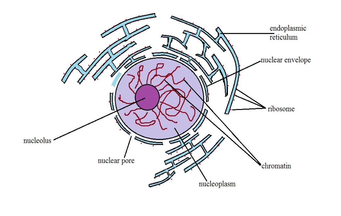 hight resolution of diagrammatic representation of a nucleus