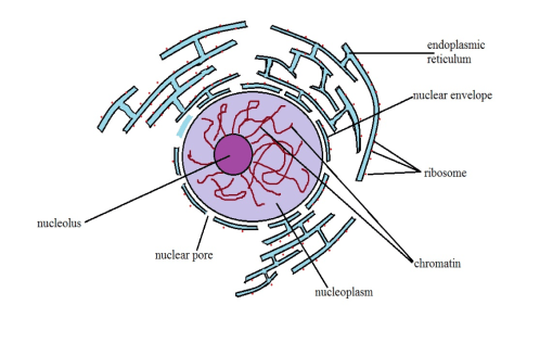 small resolution of diagrammatic representation of a nucleus