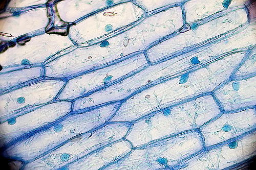 onion cell diagram h2o dot cells under the microscope requirements preparation and stained with methylene blue