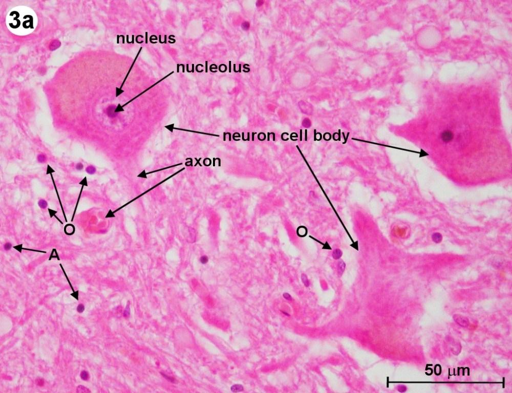 medium resolution of the human spine diagram