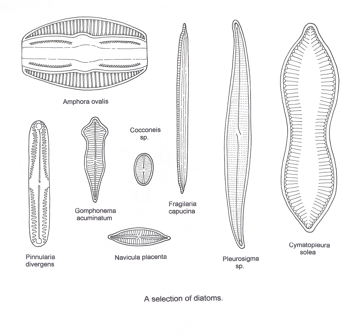 Diatom Under Microscope Labeled Sketch Coloring Page
