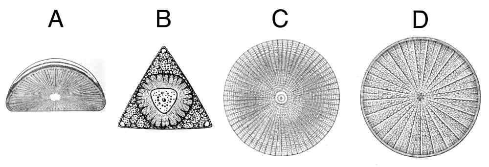 medium resolution of image gallery diatoms labeled