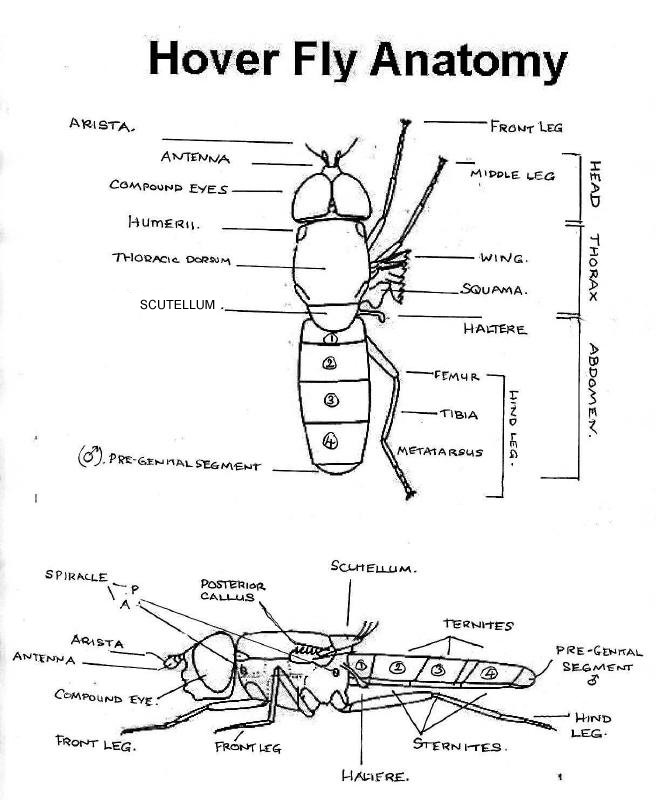 hornet anatomy diagram club car golf cart ignition wiring mic uk hoverflies all about click on the term to find out more