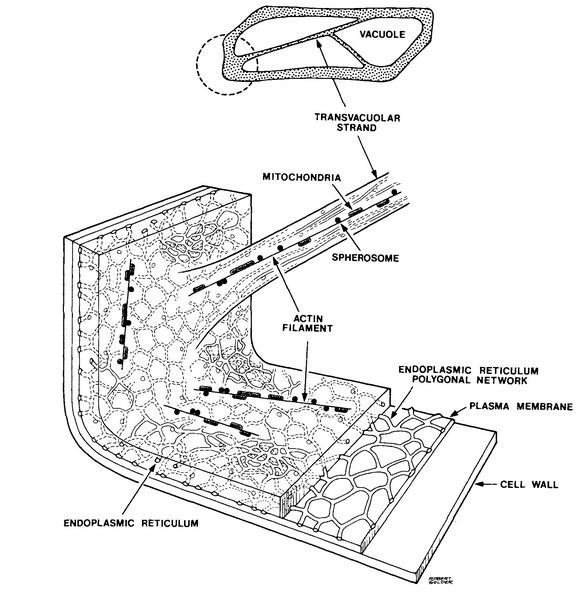 onion epidermal diagram labeled with oils
