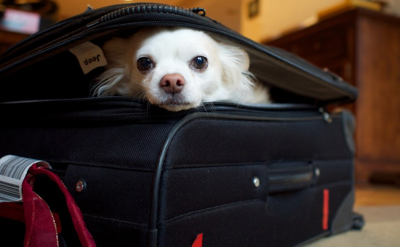white small dog in suitcase