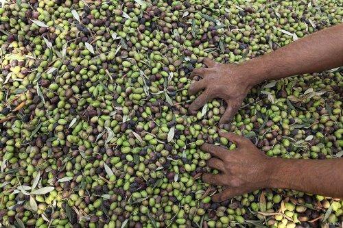A Palestinian man picks olives during harvest season at a farm in Gaza on October 6 2016. [Ashraf Amra/ Apaimages]