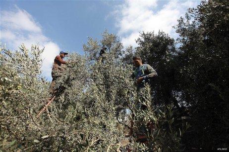 Palestinians pick olives during harvest season at a farm in Bureij refugee camp, central Gaza Strip, October 6, 2016. [Ashraf Amra/ APA Images]