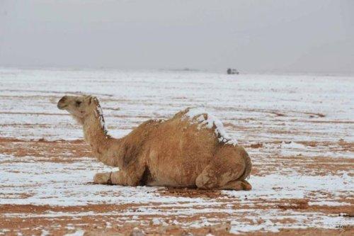 Image of a camel covered in snow in Saudi [safa.ps]