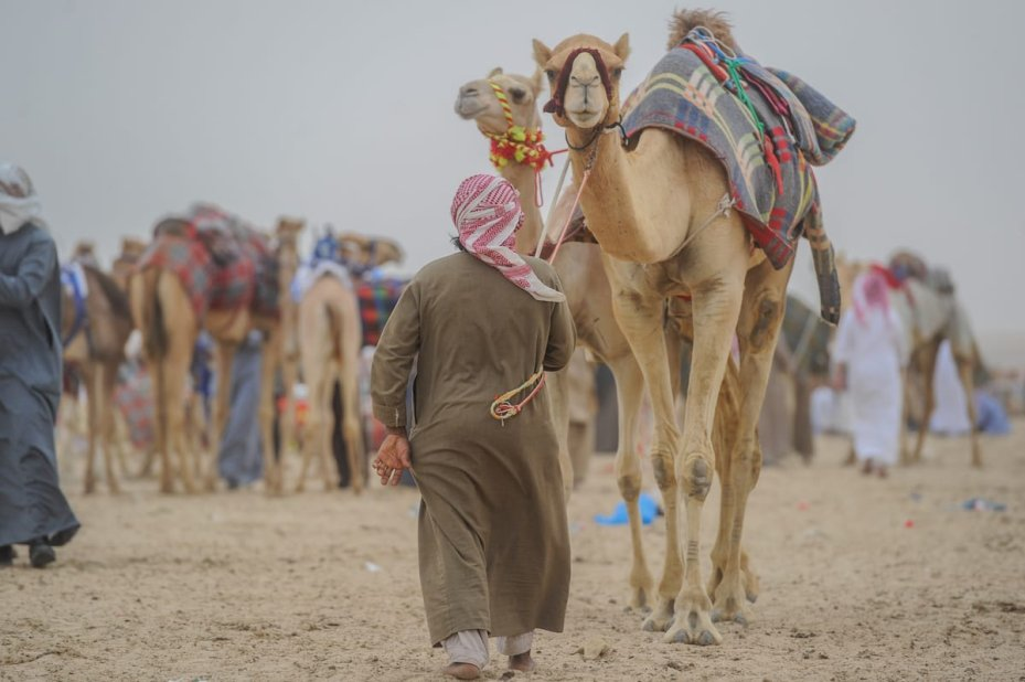 JAHRA, KUWAIT - FEBRUARY 11: People make preparations during the 17th Camel Race at Kuwait Club for Camel Race in KAbd Town of Jahra, Kuwait on February 11, 2017. Kuwait's 17th Camel Race began on Saturday with an unprecedented large number of participating best-of-breed 3,000 camels from varied countries. ( Jaber Abdulkhaleg - Anadolu Agency )
