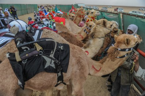 JAHRA, KUWAIT - FEBRUARY 11: Camels are seen during the 17th Camel Race at Kuwait Club for Camel Race in KAbd Town of Jahra, Kuwait on February 11, 2017. Kuwait's 17th Camel Race began on Saturday with an unprecedented large number of participating best-of-breed 3,000 camels from varied countries. ( Jaber Abdulkhaleg - Anadolu Agency )