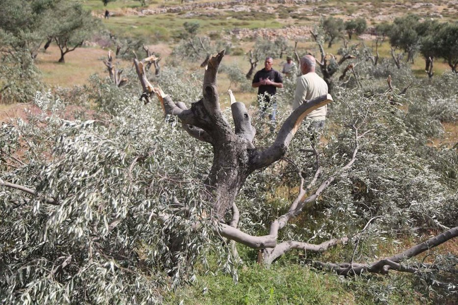 Palestinian farmers inspect the damage to their olive trees that were allegedly was cut down by Israeli settlers. (Issam Rimawi - Anadolu Agency )