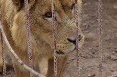 Image of Simba the lion after being rescued from a zoo in Mosul [Four Paws UK]